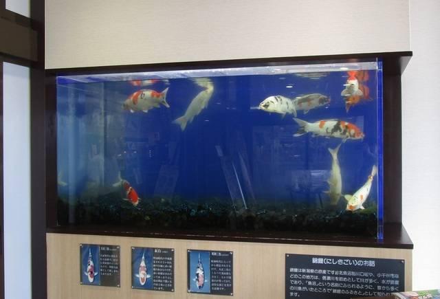 その姿から「泳ぐ宝石」と呼ばれる錦鯉