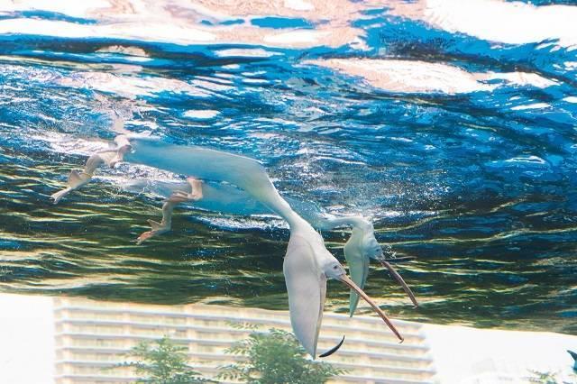 水中に潜ってエサである魚を追いかけます