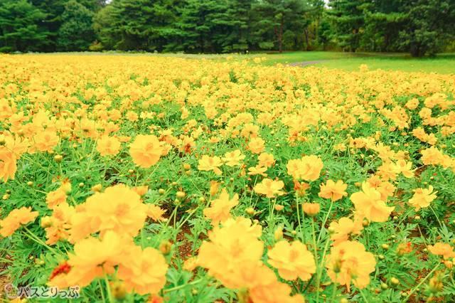 草原エリアに咲く「ロードイエロー」