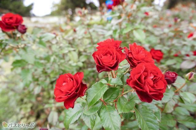 園内「常陸ローズガーデン」のバラ。秋は10月下旬~11月上旬が見頃