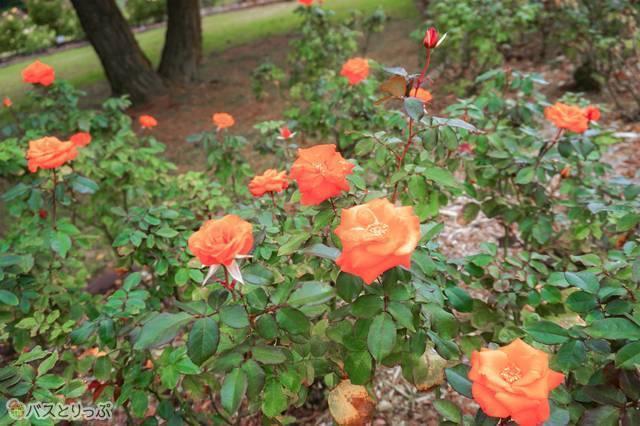 「テキーラ」という品種のバラも
