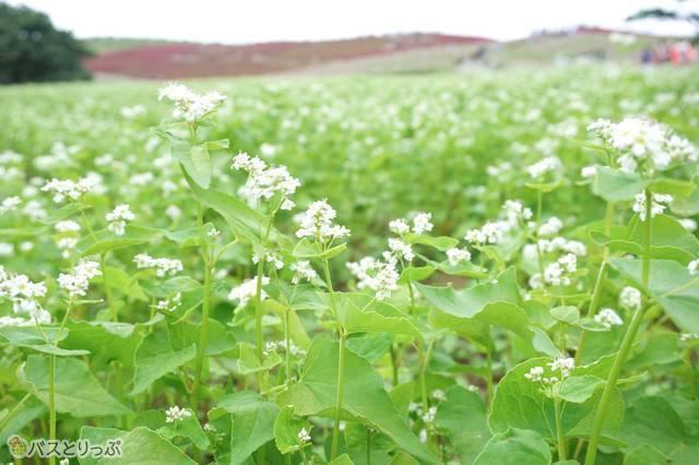 茨城産の「ソバ」の花