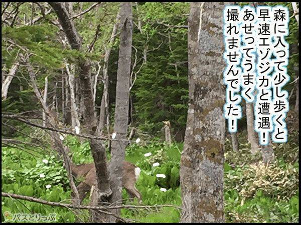 森に入って少し歩くと早速エゾシカと遭遇!あせってうまく撮れませんでした!