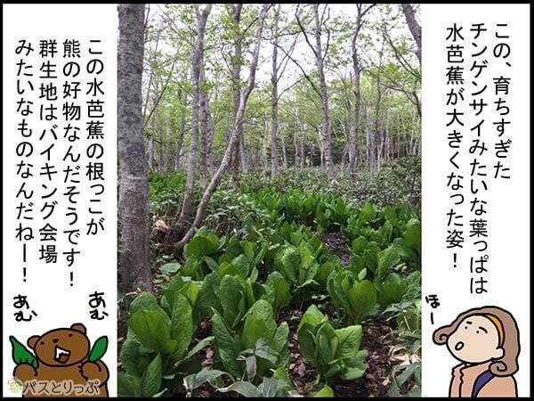 この、育ちすぎたチンゲンサイみたいな葉っぱは水芭蕉が大きくなった姿!この水芭蕉の根っこが熊の好物なんだそうです!群生地はバイキング会場みたいなものなんだねー!