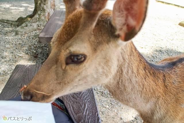 ビニール袋のニオイを嗅ぐ鹿(東大寺&興福寺)