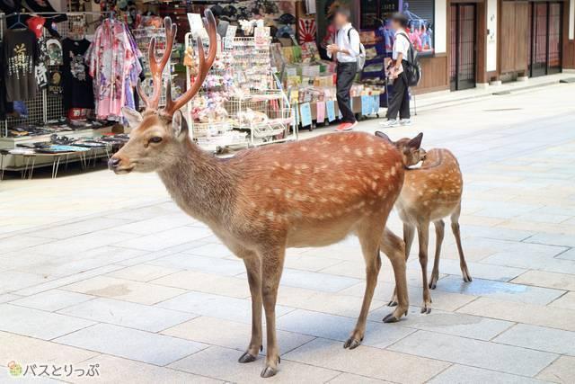 鹿の親子(東大寺&興福寺)
