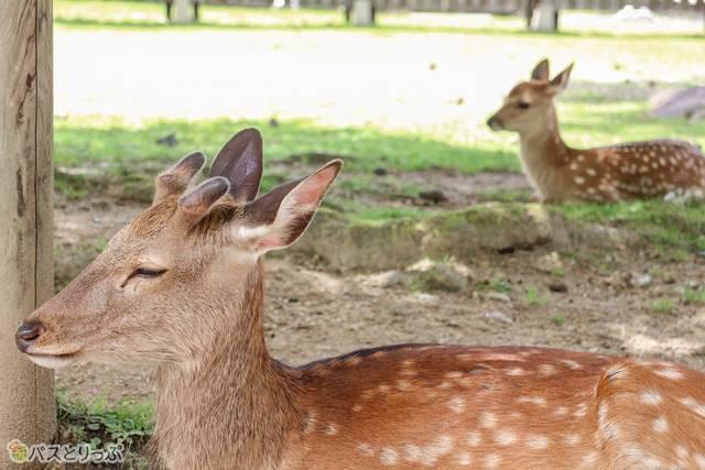 ゆっくりお休み中の鹿たち(東大寺&興福寺)
