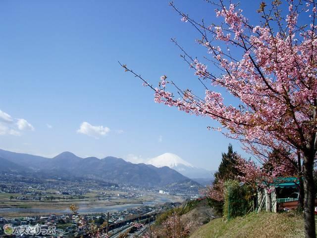 富士山がキレイに見られるのは空気の澄んだ寒い時期ならではの醍醐味!(満開時に撮影)