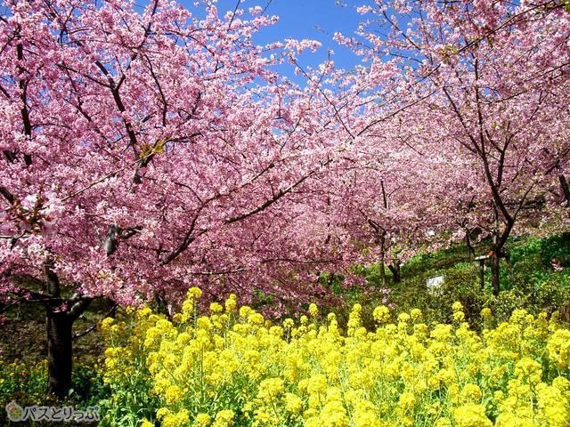 早咲きの河津桜と菜の花畑が見どころ(満開時に撮影)
