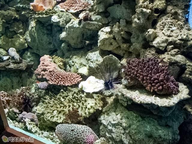 地味な色の珊瑚だけがいる水槽…(京大白浜水族館)