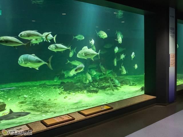 入るとすぐ、いたってノーマルな大水槽が迎えてくれます(京大白浜水族館)