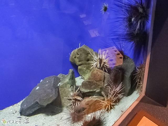 別の水槽にはガゼというウニの仲間もいました(京大白浜水族館)