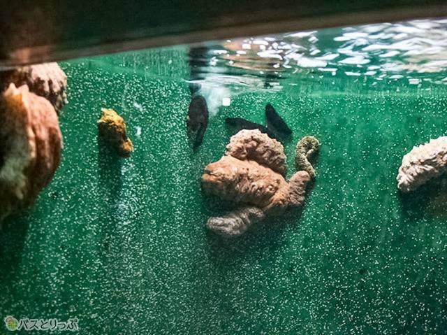 7種類のナマコだけが生息する水槽(京大白浜水族館)