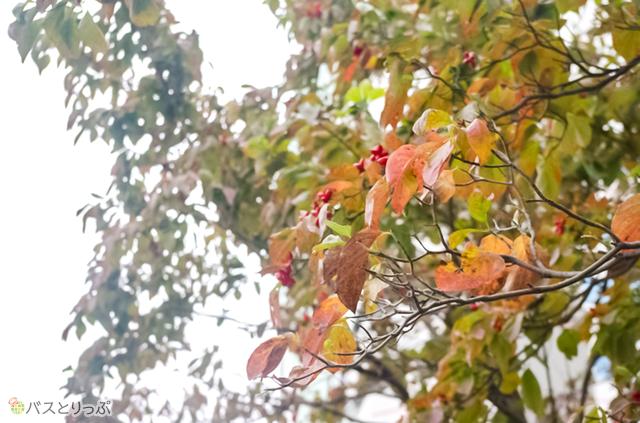 新宿御苑の木々も色づいてきています