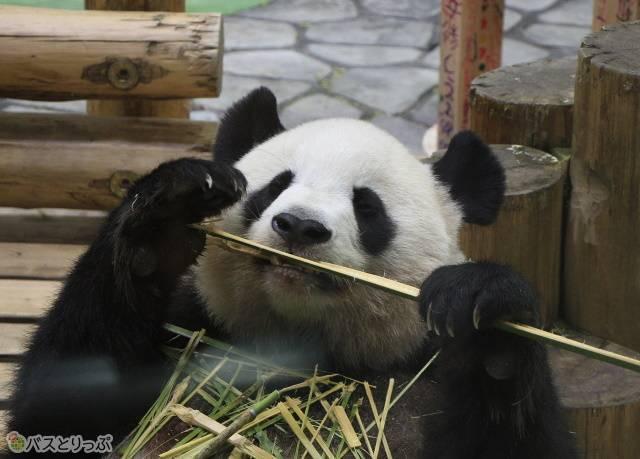 お母さんパンダ「良浜(らうひん)」