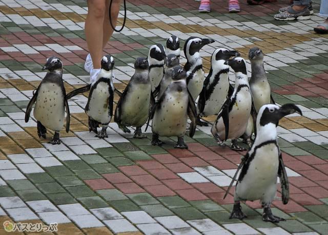 かわいいらしいペンギンたちのパレード