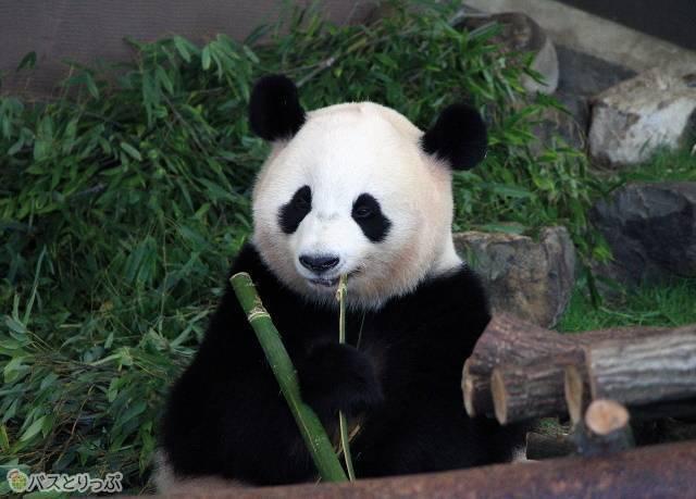 アドベンチャーワールドで見られるジャイアントパンダ「桜浜」